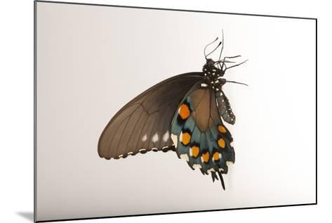 A Pipevine Swallowtail, Battus Philenor, a Native to Nebraska, at the Lincoln Children's Zoo-Joel Sartore-Mounted Photographic Print