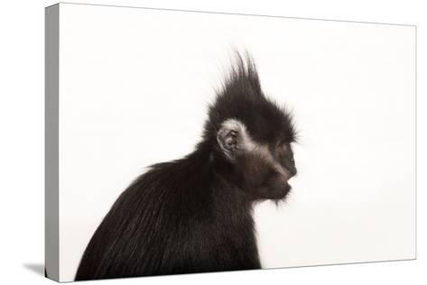 An Endangered Francois' Langur, Trachypithecus Francoisi, at the Kansas City Zoo-Joel Sartore-Stretched Canvas Print
