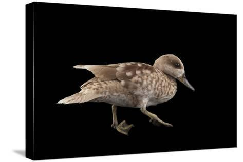 A Vulnerable Marbled Teal, Marmaronetta Angustirostris, at the Kansas City Zoo-Joel Sartore-Stretched Canvas Print