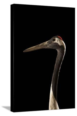 An Endangered Red-Crowned Crane, Grus Japonensis, at the Kansas City Zoo-Joel Sartore-Stretched Canvas Print