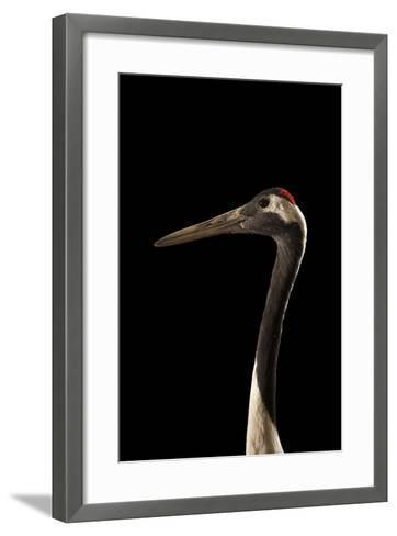 An Endangered Red-Crowned Crane, Grus Japonensis, at the Kansas City Zoo-Joel Sartore-Framed Art Print
