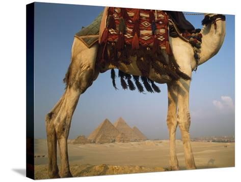 Looking under Camel to Great Pyramids of Giza-Design Pics Inc-Stretched Canvas Print