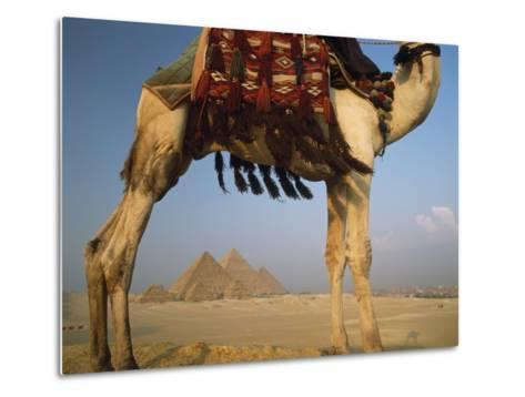 Looking under Camel to Great Pyramids of Giza-Design Pics Inc-Metal Print
