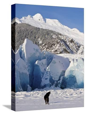 Howling on a Winter Afternoon a Black Wolf Calls Pack at the Face of Mendenhall Glacier-Design Pics Inc-Stretched Canvas Print