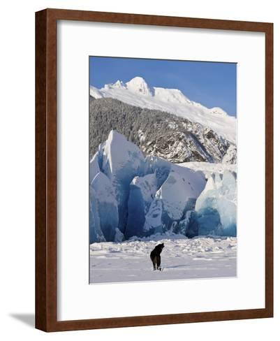 Howling on a Winter Afternoon a Black Wolf Calls Pack at the Face of Mendenhall Glacier-Design Pics Inc-Framed Art Print