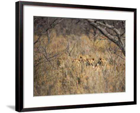 A Pride of Lionesses, Panthera Leo, Resting in Tall Grass under Trees at Sunrise-Alex Saberi-Framed Art Print