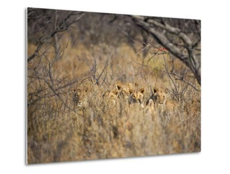A Pride of Lionesses, Panthera Leo, Resting in Tall Grass under Trees at Sunrise-Alex Saberi-Metal Print
