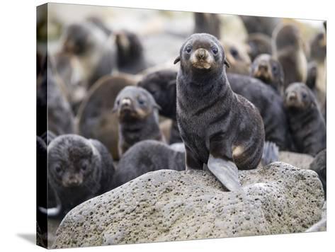 Portrait of a Northern Fur Seal Pup, St. Paul Island, Southwest Alaska, Summer-Design Pics Inc-Stretched Canvas Print