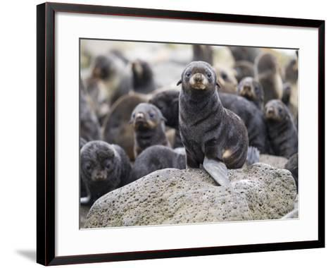 Portrait of a Northern Fur Seal Pup, St. Paul Island, Southwest Alaska, Summer-Design Pics Inc-Framed Art Print