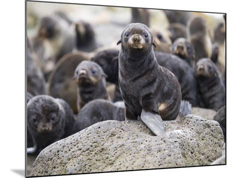 Portrait of a Northern Fur Seal Pup, St. Paul Island, Southwest Alaska, Summer-Design Pics Inc-Mounted Photographic Print