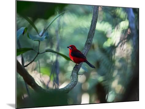 A Brazilian Tanager, Ramphocelus Bresilius, Perches in a Tree with a Tropical Backdrop-Alex Saberi-Mounted Photographic Print