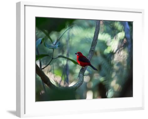 A Brazilian Tanager, Ramphocelus Bresilius, Perches in a Tree with a Tropical Backdrop-Alex Saberi-Framed Art Print