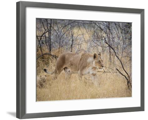 A Lioness, Panthera Leo, Walks Through Long Grass Among Trees-Alex Saberi-Framed Art Print