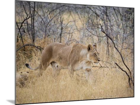 A Lioness, Panthera Leo, Walks Through Long Grass Among Trees-Alex Saberi-Mounted Photographic Print