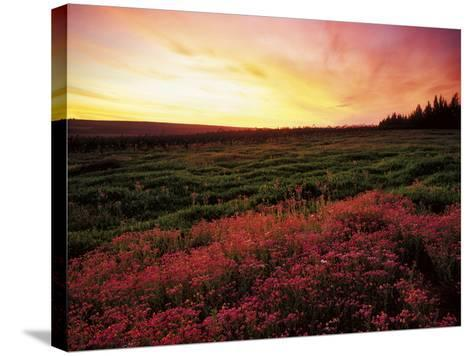 Pink Wild Flowers at Sunset, Cedarberg Wilderness Area, South Africa-Keith Ladzinski-Stretched Canvas Print