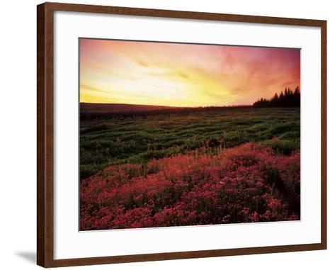 Pink Wild Flowers at Sunset, Cedarberg Wilderness Area, South Africa-Keith Ladzinski-Framed Art Print