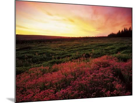 Pink Wild Flowers at Sunset, Cedarberg Wilderness Area, South Africa-Keith Ladzinski-Mounted Photographic Print