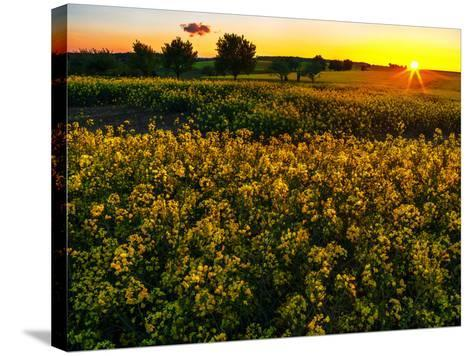 Sunset over a Rapeseed Flower Field-Babak Tafreshi-Stretched Canvas Print