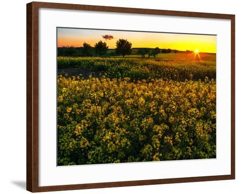 Sunset over a Rapeseed Flower Field-Babak Tafreshi-Framed Art Print