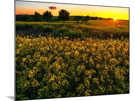 Sunset over a Rapeseed Flower Field-Babak Tafreshi-Mounted Photographic Print