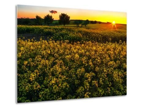Sunset over a Rapeseed Flower Field-Babak Tafreshi-Metal Print