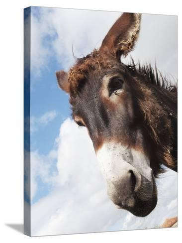 Donkey's Head Against a Blue Sky with Cloud; Charente, France-Design Pics Inc-Stretched Canvas Print