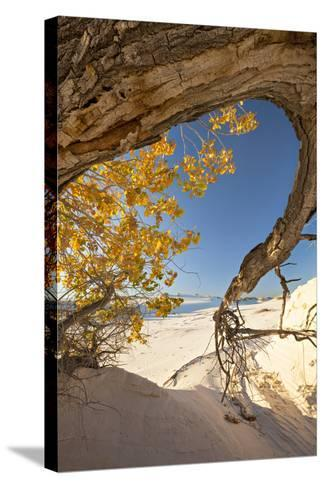 Cottonwood Tree with Fall Color in White Sands National Monument-Derek Von Briesen-Stretched Canvas Print