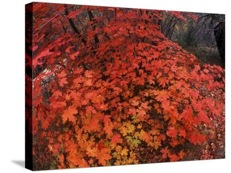 Autumn Maple Leaves in Zion National Park, Utah-Keith Ladzinski-Stretched Canvas Print
