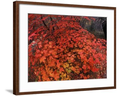 Autumn Maple Leaves in Zion National Park, Utah-Keith Ladzinski-Framed Art Print