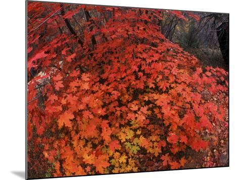 Autumn Maple Leaves in Zion National Park, Utah-Keith Ladzinski-Mounted Photographic Print