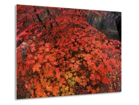 Autumn Maple Leaves in Zion National Park, Utah-Keith Ladzinski-Metal Print