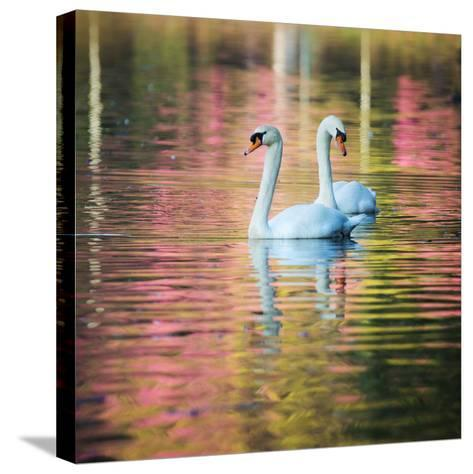 Two Swans Float on a Colorful Reflective Lake-Alex Saberi-Stretched Canvas Print