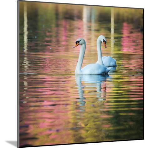 Two Swans Float on a Colorful Reflective Lake-Alex Saberi-Mounted Photographic Print