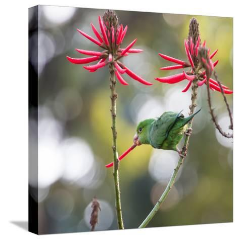 A Plain Parakeet, Brotogeris Tirica, Eats Petals of Coral Tree Flowers in Ibirapuera Park-Alex Saberi-Stretched Canvas Print