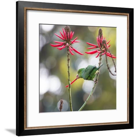 A Plain Parakeet, Brotogeris Tirica, Eats Petals of Coral Tree Flowers in Ibirapuera Park-Alex Saberi-Framed Art Print
