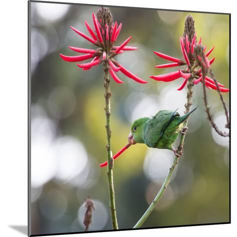 A Plain Parakeet, Brotogeris Tirica, Eats Petals of Coral Tree Flowers in Ibirapuera Park-Alex Saberi-Mounted Photographic Print