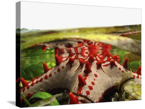 Brightly Colored Starfish in a Pool on the Reef-Design Pics Inc-Stretched Canvas Print