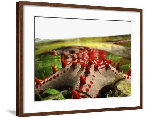 Brightly Colored Starfish in a Pool on the Reef-Design Pics Inc-Framed Art Print