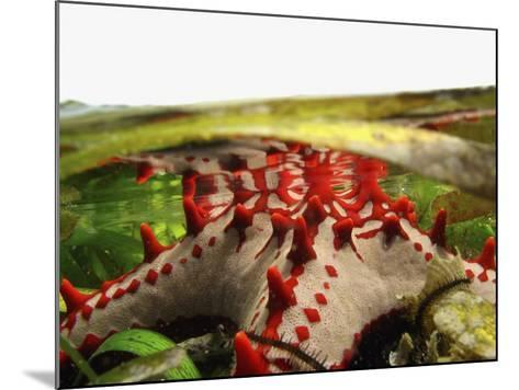 Brightly Colored Starfish in a Pool on the Reef-Design Pics Inc-Mounted Photographic Print