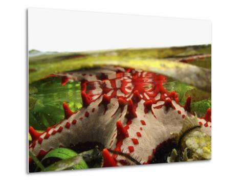 Brightly Colored Starfish in a Pool on the Reef-Design Pics Inc-Metal Print