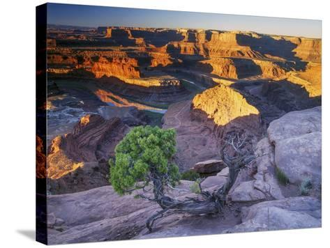 Sunrise at Dead Horse Point with Juniper, Overlooking Canyonlands National Park-Keith Ladzinski-Stretched Canvas Print