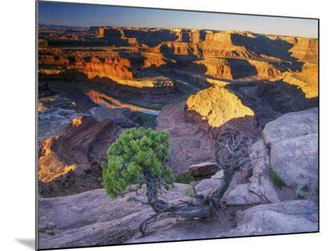 Sunrise at Dead Horse Point with Juniper, Overlooking Canyonlands National Park-Keith Ladzinski-Mounted Photographic Print