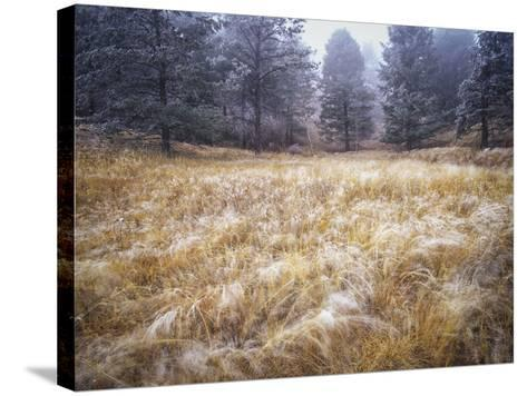 Foggy Forest with Meadow, Pike National Forest, Colorado-Keith Ladzinski-Stretched Canvas Print