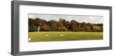 Sheep Grazing in Meadow, Northumberland, England-Design Pics Inc-Framed Art Print