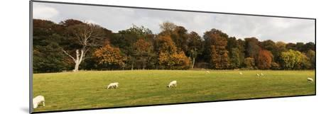 Sheep Grazing in Meadow, Northumberland, England-Design Pics Inc-Mounted Photographic Print