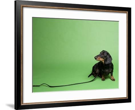 Studio Portrait of a Dachshund with Leash, Against a Green Background-Rebecca Hale-Framed Art Print
