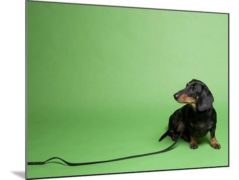 Studio Portrait of a Dachshund with Leash, Against a Green Background-Rebecca Hale-Mounted Photographic Print