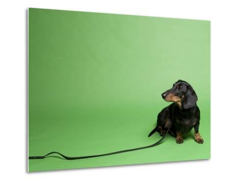 Studio Portrait of a Dachshund with Leash, Against a Green Background-Rebecca Hale-Metal Print