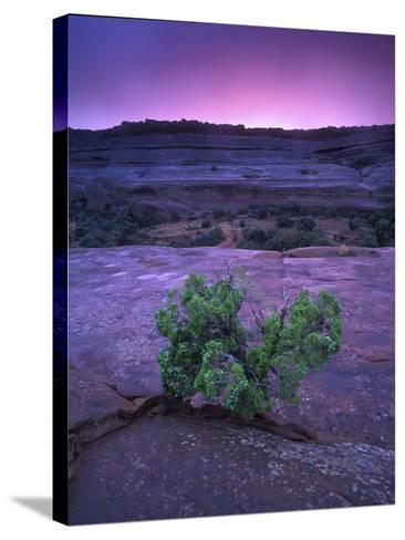 A Lone Juniper Grows Out of Sandstone in the Foreground of a Colorful Sunset-Keith Ladzinski-Stretched Canvas Print