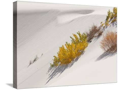 Cottonwood Trees with Fall Color and Salt Cedar in White Sands National Monument-Derek Von Briesen-Stretched Canvas Print